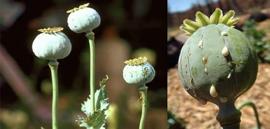 Adormidera o Planta del Opio