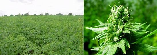 Marihuana de lejos y de cerca