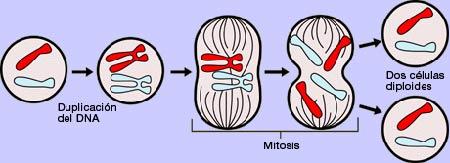 División celular por medio de mitosis