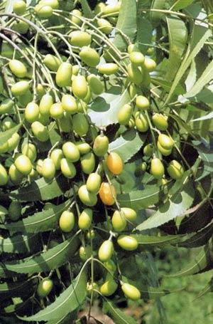 Árbol de margosa o neem